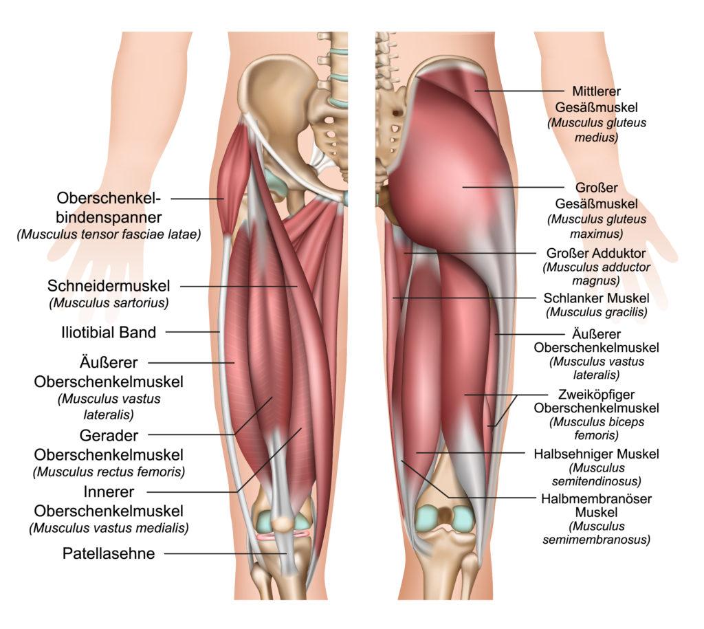Oberschenkel-Muskulatur