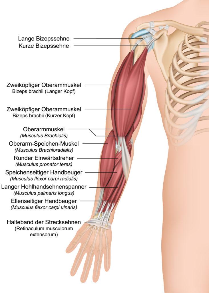 Anatomie Oberarm
