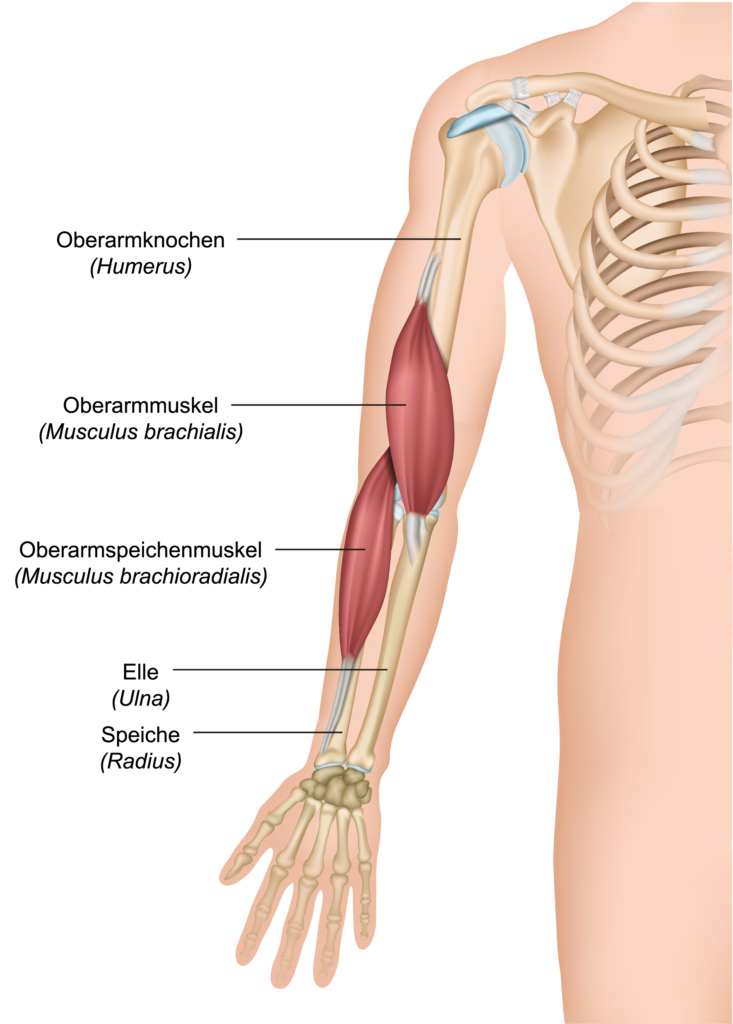 Anatomie Musculus brachialis ,- brachioradialis