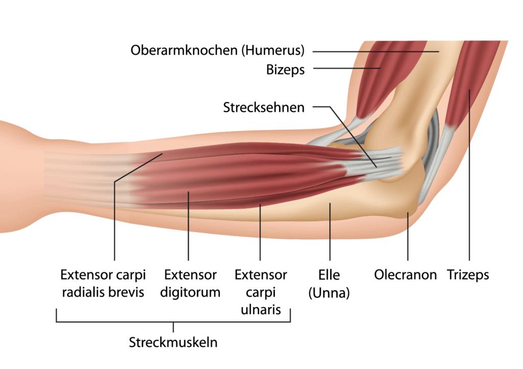 Unterarmmuskulatur