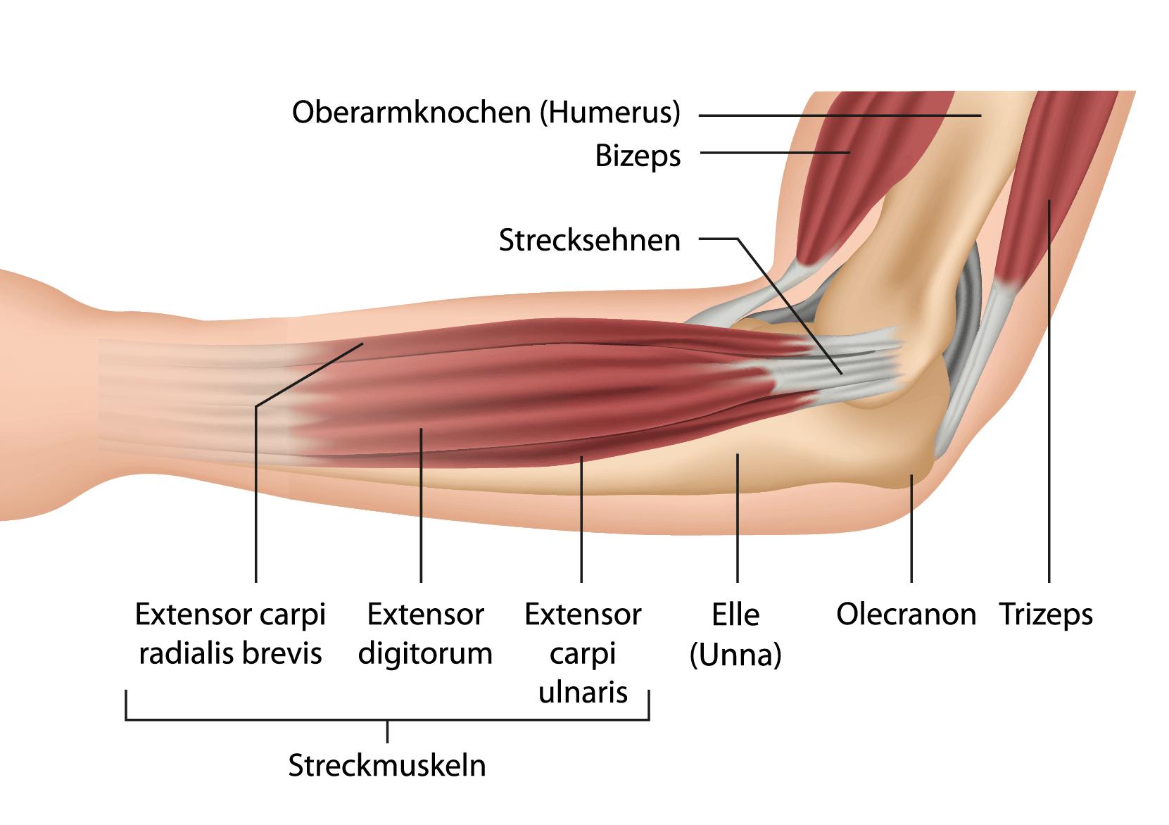Armmuskeln Aufbauen