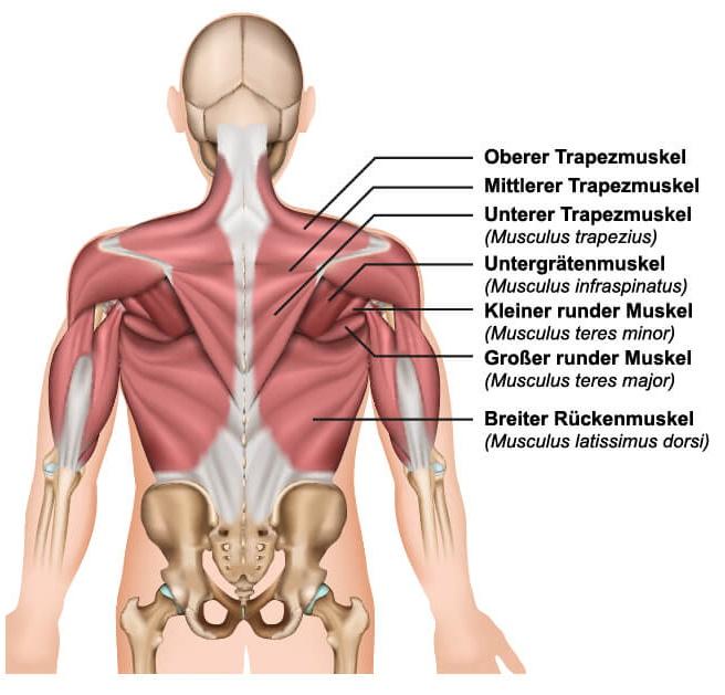 Rückenmuskulatur Gorilla Sports-Magazin